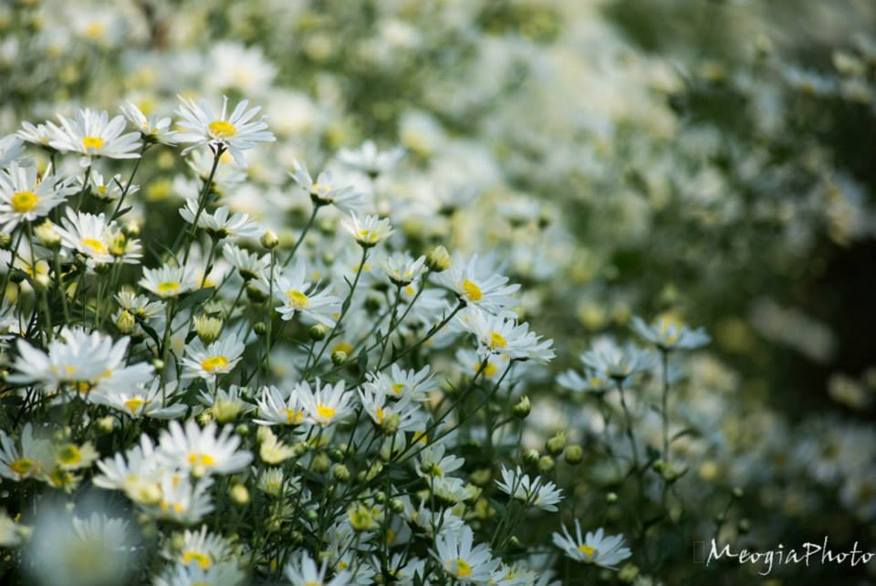 Hoa cúc ánh mắt em ngày xưa (photo by Meogiaphoto)
